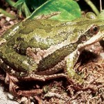 Western chorus frog (photo: Audubon)